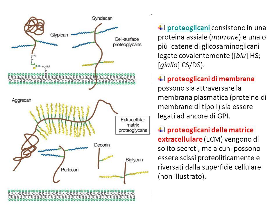 I proteoglicani consistono in una proteina assiale (marrone) e una o più catene di glicosaminoglicani legate covalentemente ([blu] HS; [giallo] CS/DS).